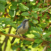 A Scrub Jay holding a ripe Mulberry it was eating in a Mulberry tree