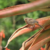 A fledgling California Towhee perched on an Aloe plant