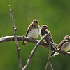 Three fledgling Northern Rough-winged Swallows