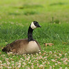 A Canada Goose resting on a lawn and looking upwards