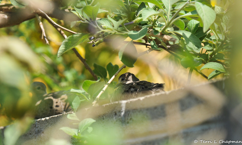 A pair of fledgling Mourning Doves resting on the wall in my backyard.