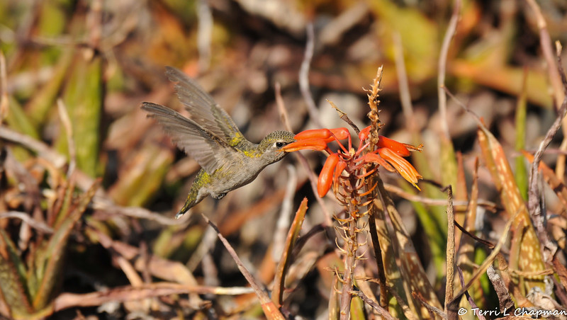 """A female Anna's Hummingbird sipping nectar from """"Little Red Riding Hood"""" Aloe."""