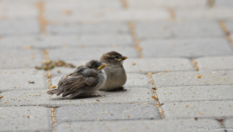 Two fledgling House Sparrows resting on my front porch. While they appeared to have the same mother, you can see that one fledgling is smaller than the other and its feathers are not as well developed.
