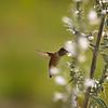 A female Allen's Hummingbird sipping nectar from a flower