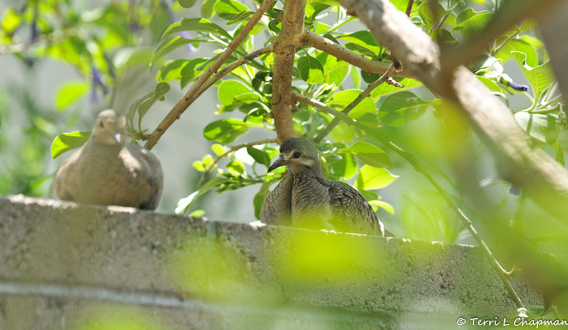 A pair of fledgling Mourning Doves resting on the wall in my backyard. Look at how different their color and markings are.
