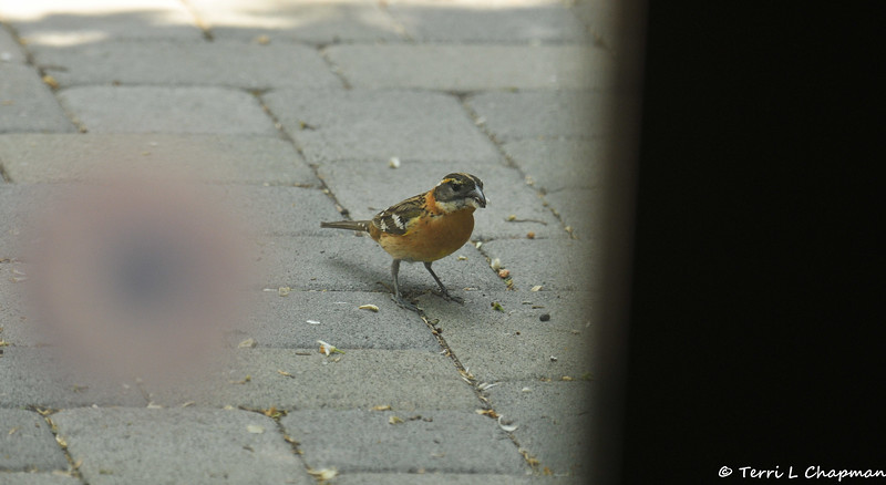 A female Black-headed Grosbeak eating sunflowers on my back patio. I took this picture through my back door.