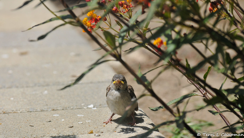A fledgling House Sparrow beside a Milkweed plant