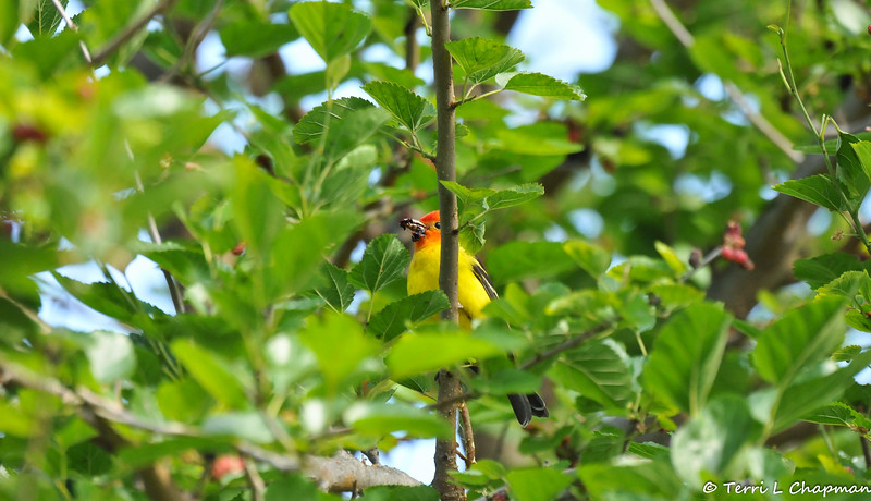 A male Western Tanager enjoying the ripe Mulberries in the Mulberry tree