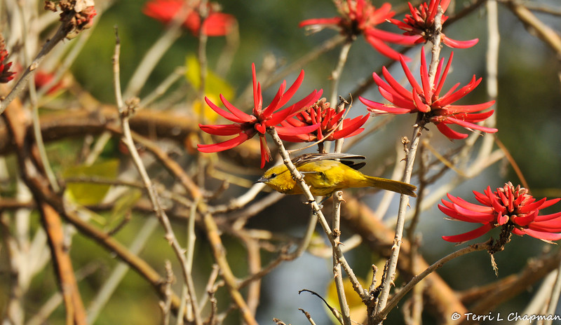 """A female Hooded Oriole in a blooming """"Naked Coral Tree"""""""
