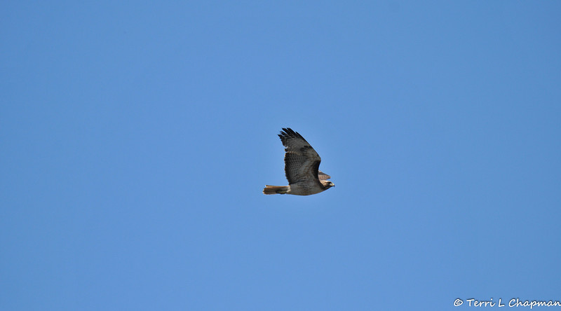 A Red-tailed Hawk in flight after being harassed by two crows and a Northern Mockingbird.