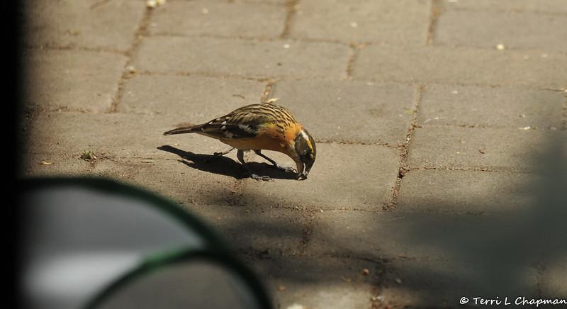 A female Black-headed Grosbeak eating sunflowers on my back patio