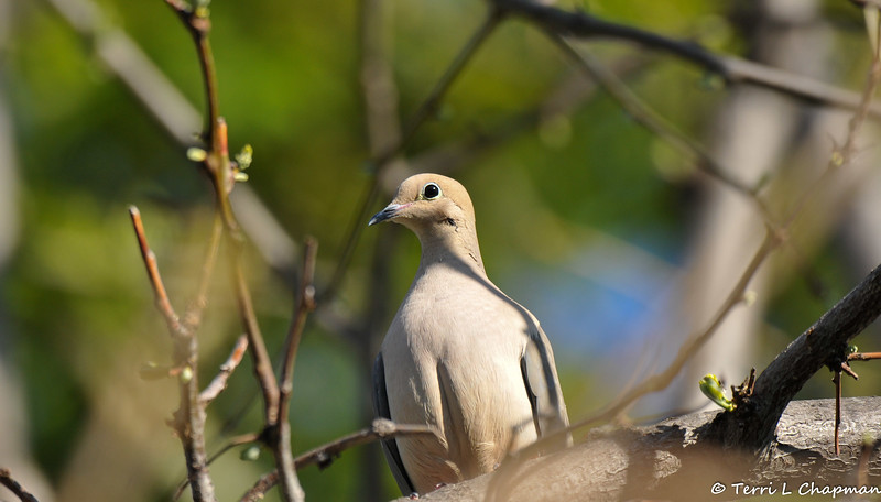 A close-up of a beautiful Mourning Dove with the morning sunlight on its face