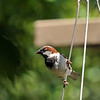 A male House Sparrow perched on the handles of a hanging flower basket