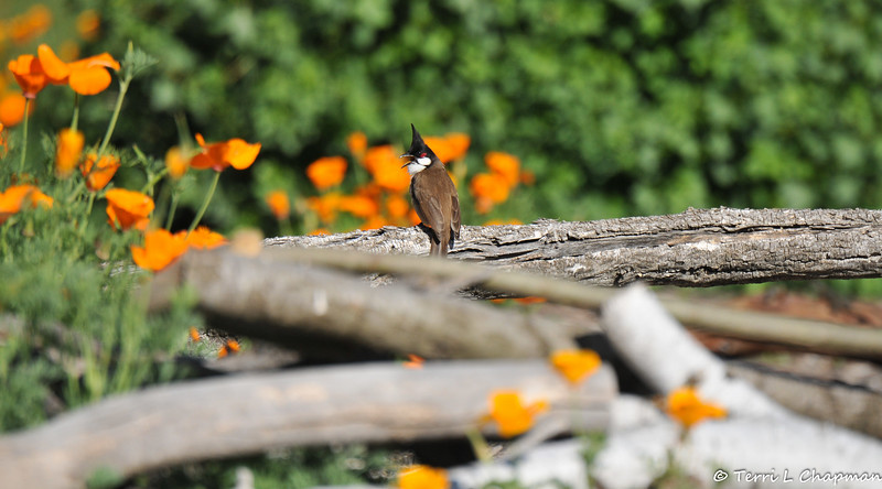 A Red-whiskered Bulbul against a backdrop of Poppies. <br /> <br /> This species was introduced in North America, and is found only in residential areas with wide variety of exotic trees and shrubs that provide berries and small fruits at all times of year. This bird was photographed at a public botanical garden. In the bird's native range of southern Asia, it can be found in forest edges, semi-open areas, and towns.