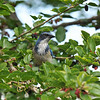 A Scrub Jay perched in a Mulberry tree