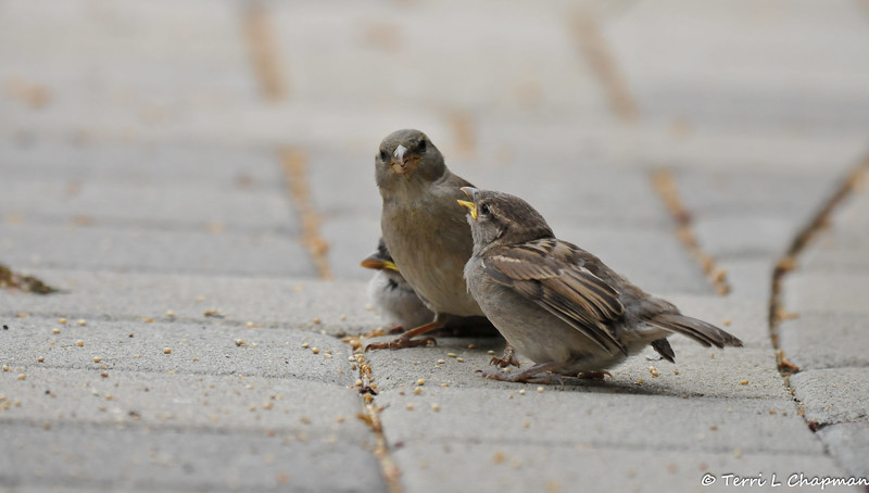 A female House Sparrow, with her fledglings, that appeared on my front porch. I provided the mother with dried meal worms and she eagerly fed them to the babies. One of the fledglings was smaller than the other and its feathers were not as well developed.