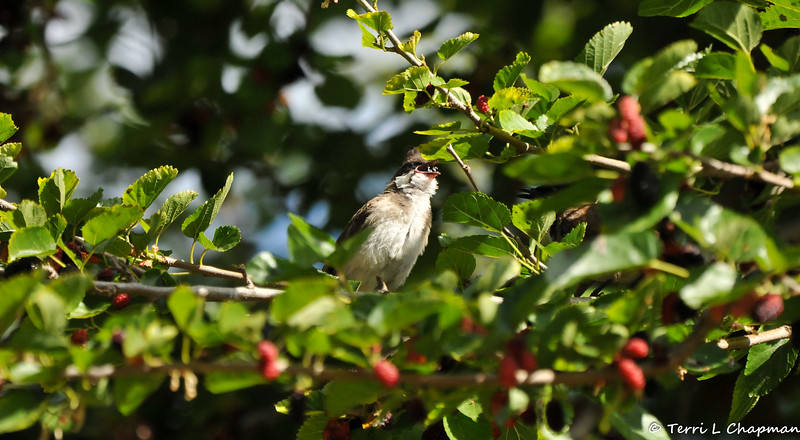 A fledgling Red-whiskered Bulbul eating a ripe Mulberry that one of its parents (hidden in the foliage) had just fed it