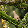 A Mourning Dove with nesting material in its bill