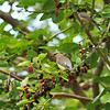 Two Cedar Waxwings in a Mulberry tree