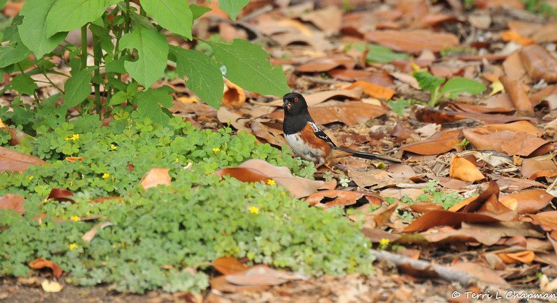 A male Spotted Towhee with insects in its bill that it had gathered from under the fallen leaves
