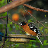 An adult male Black-headed Grosbeak eating safflower seed out of one of my bird feeders.