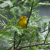 A male Wilson's Warbler taking a pause in my Redwood tree after eating a spider it had found in the tree.