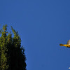 A male Hooded Oriole taking flight from the top of my cypress tree