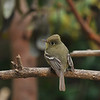 A Pacific-slope Flycatcher. I rarely see this bird in my yard, so I was excited to see it.