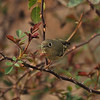 A Ruby-crowned Kinglet eating a Green Lacewing insect