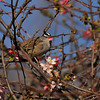 A White-crowned Sparrow eating a petal from a Cherry Blossom