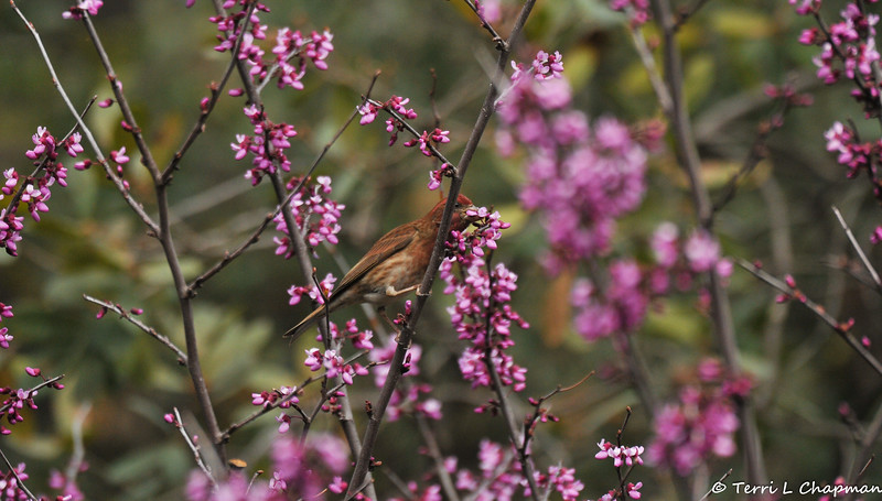 A male Purple Finch eating the blooms off an Eastern Redbud Tree