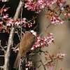 A Red-whiskered Bulbul perched in a Taiwan Cherry Tree