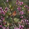 A male Purple Finch in an Eastern Redbud Tree