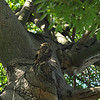 A female Great Horned Owl watching over her three fledglings that are perched in a nearby tree.