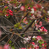 A Yellow-rumped Warbler perched in a Cherry Blossom Tree