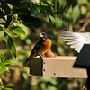 A beautiful male Black-headed Grosbeak, eating safflower at my platform feeder. In the background, a Mourning dove is coming in for a landing.