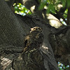 A closer look at the mother Great Horned Owl watching over her three fledglings that are perched in a nearby tree.