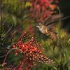 An Allen's Hummingbird hovering over an Australian Grevillea flower