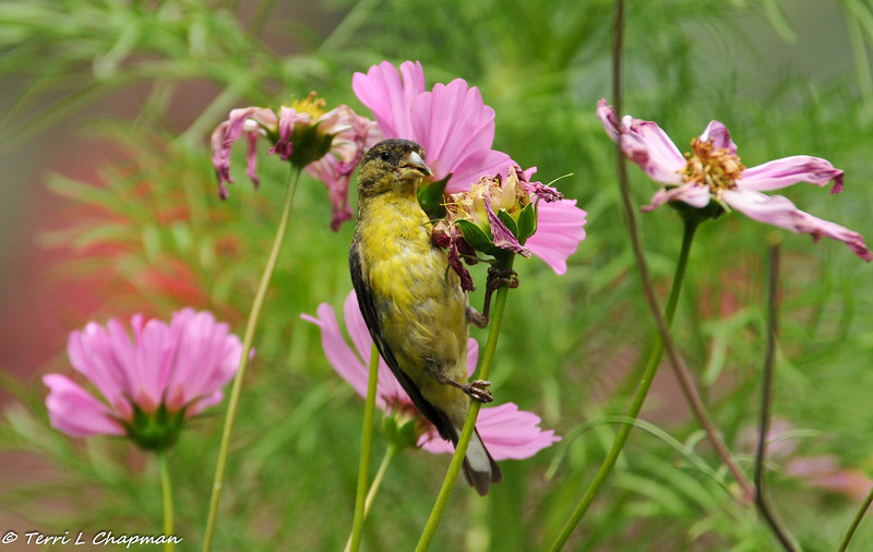 A Lesser Goldfinch (male) eating seeds from the Cosmo flower