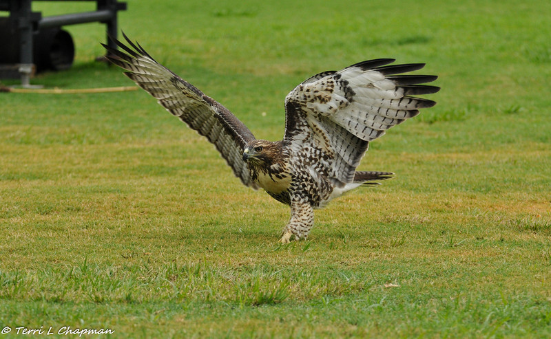 A Red-tailed Hawk (juvenile) hunting for worms on the lawn. The bird would see a worm and fly towards it and then pounce on it