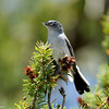 A Blue-gray Gnatcatcher with nesting material in his mouth. He and his mate were busy building a nest.