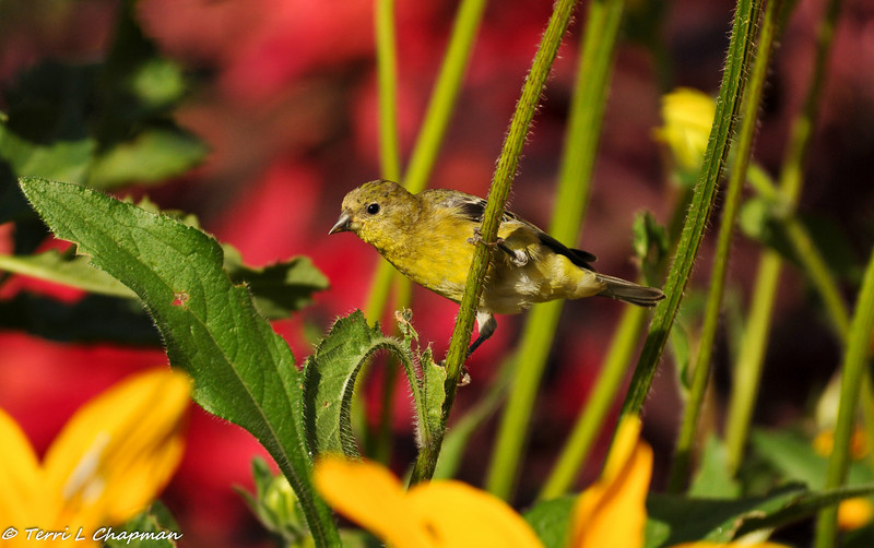 Lesser Goldfinch (female) eating the leaves of a coneflower