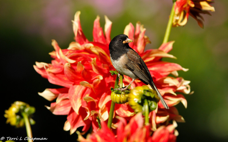 A Dark-eyed Junco, with a beak full of spiders, uses a Dahlia flower as a lookout to ensure it is safe to go to its nest, which is located underneath the Dahlia plant. This photograph was selected as the cover image for the Descanso Garden's membership magazine in the Spring of 2017.