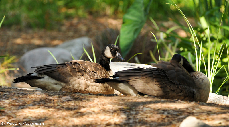 Canada Geese siblings resting by a pond (they are nine weeks old)