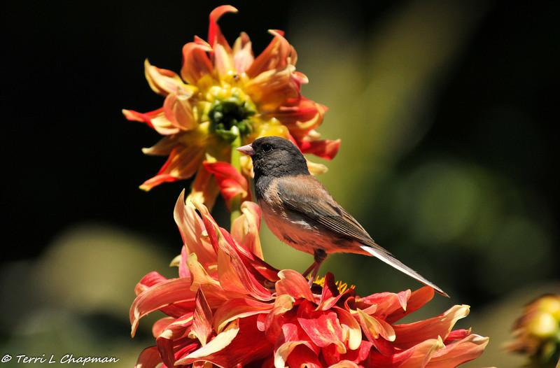 A Dark-eyed Junco posing on a Dahlia flower.