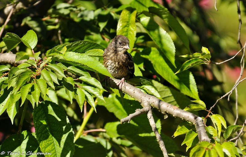 Spotted Towhee fledgling
