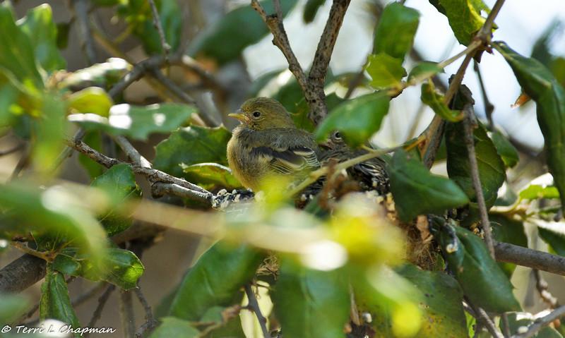 Lesser Goldfinch babies in their nest