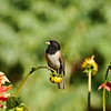 A Dark-eyed Junco, with a beak full of spiders, uses a Dahlia flower as a look out to ensure it is safe to go to its nest.
