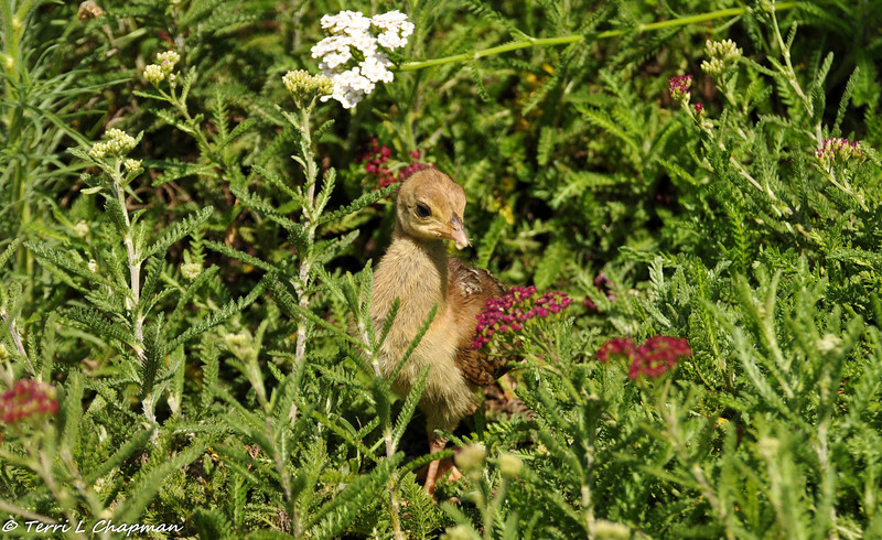 Peachick in a field of Yarrow flowers scouting for food