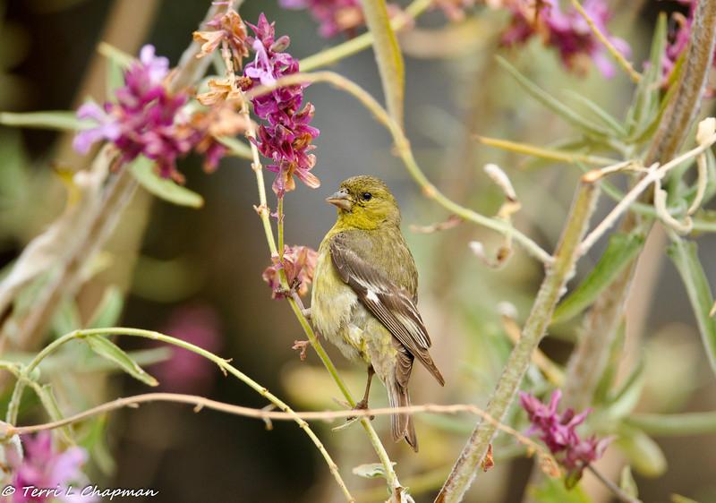 A Lesser Goldfinch (female)